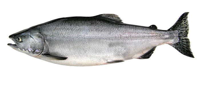 a pink salmon in ocean coloring on a white background