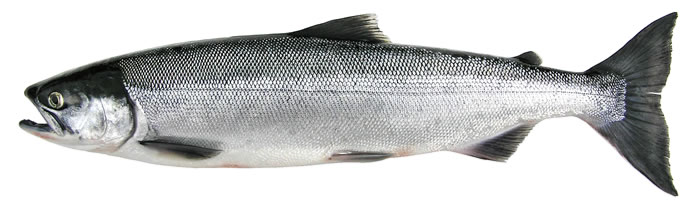 a gray sockeye salmon on a white background