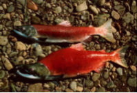 an image of a male and female sockeye salmon laying on the ground exhibiting their bright red and green spawning colors.