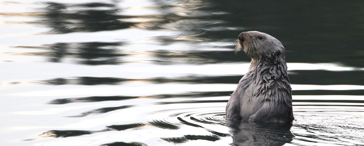 a sea otter floating up above the water looking into the distance
