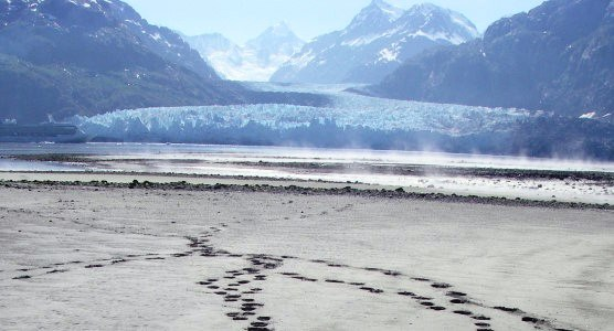 bear tracks near Margerie Glacier