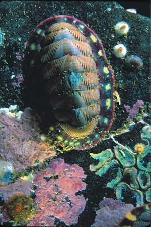 a colorful chiton attached to a rock underwater