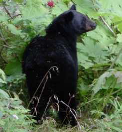 Black bear feeding on devil's club plant