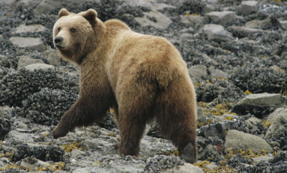 brown bear on the shore of Glacier Bay