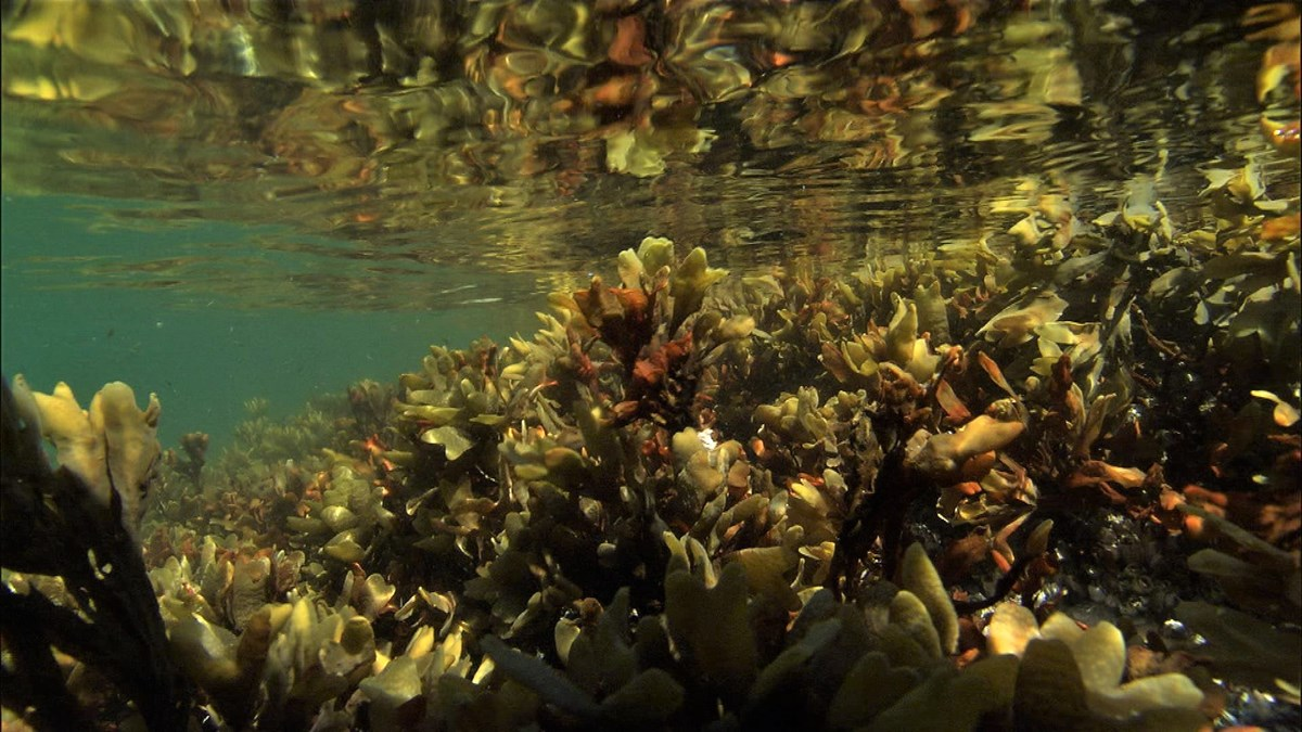 rockweed under the surface of the ocean