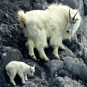 Mountain goat and young