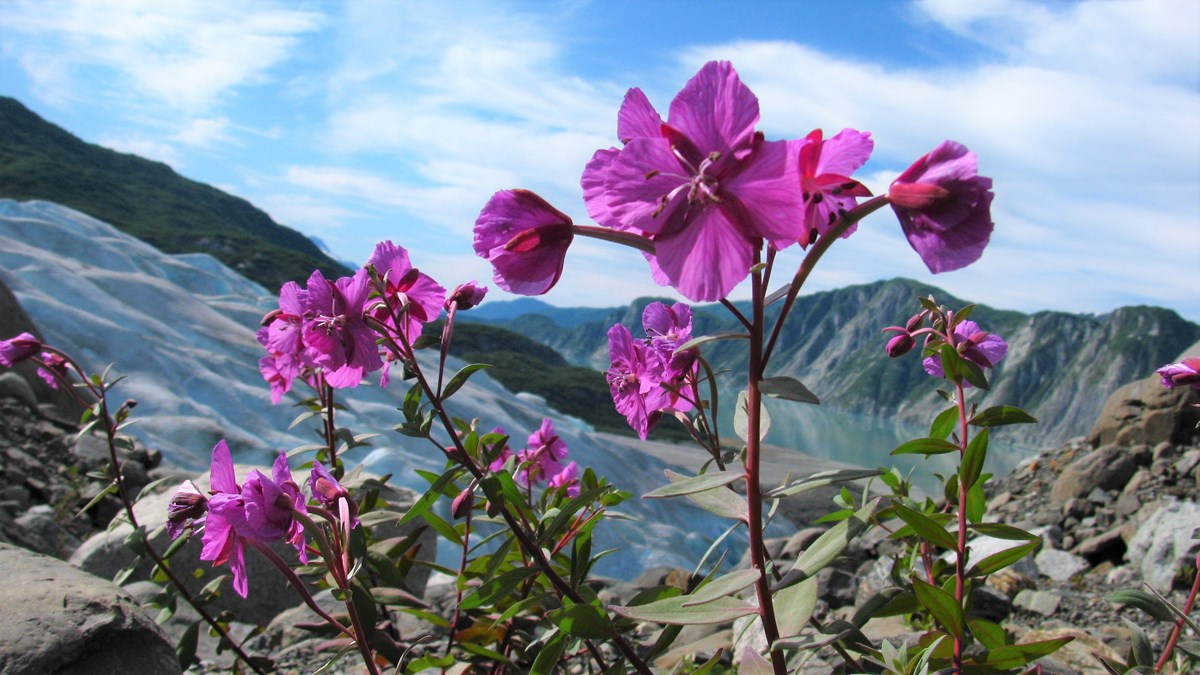 a fireweed plant in bloom in front of a glacier