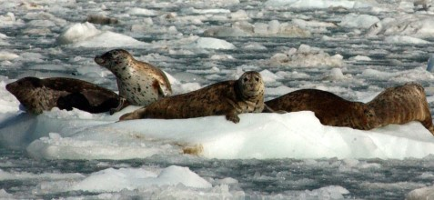 seals on ice