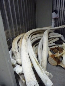 Whale 68's rib bones before final cleaning at Whales and Nails