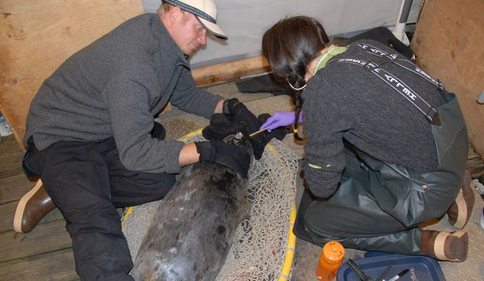 NPS biologist, Jamie Womble, and that National Marine Mammal Laboratory biologist, John Jansen, applying satellite-linked transmitter to harbor seal.