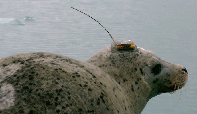 harbor seal with transmitter