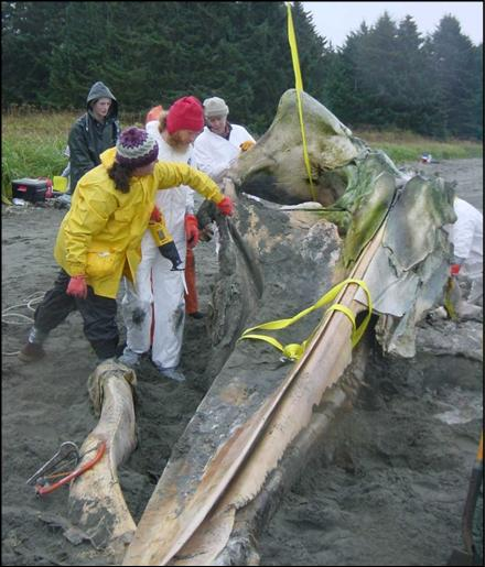 Park staff and volunteers working hard to preserve whale 68's remains.