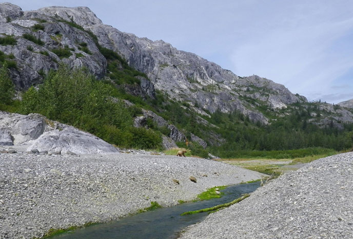 The stream near the southern end of Gloomy Knob is an important feeding area for Glacier Bay brown bears.