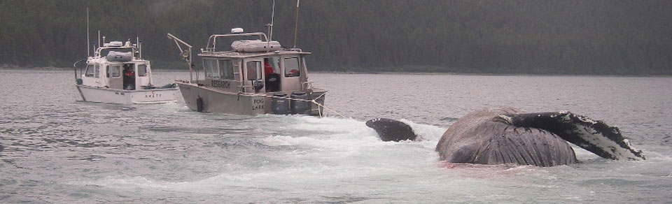 Dead Humpback Whale being towed to shore