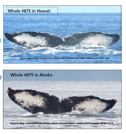 Icy Strait Whale sighted in Hawaii