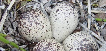 Bird nest with 4 speckled eggs.