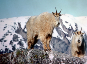 Mountain Goats are found on steep mountian sides.