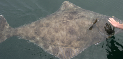Glacier Bay halibut are a challenge to catch