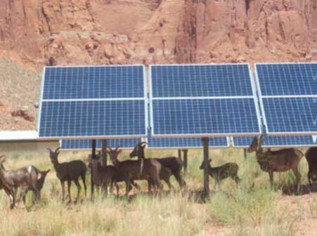 Rows of solar panels. a herd of desert bighorn sheep are standing around and under the panels.