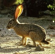 A long-legged rabbit with tall ears.