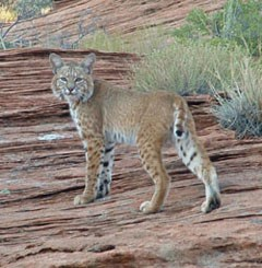 A bobcat stands on sandstone cliff looking back at the camera.