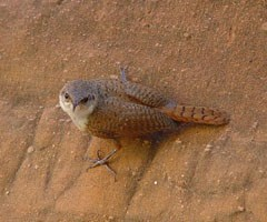 A small wren gripping a canyon wall glares at the camera.