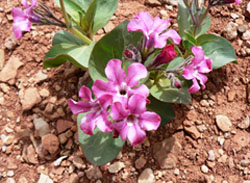 Bright pink and white flowers with fat leaves on rocky soil.