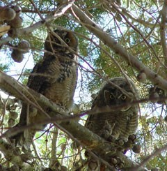 Two shaggy owls peek between the branches of a tree.