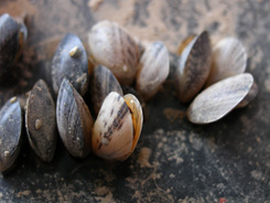 Zebra mussels (Dreissena polymorpha) in nearby Lake Mead