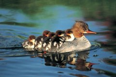 A duck with a pointy bill glides across the water. Five ducklings ride on her back.