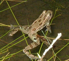 Spotted frog in the water