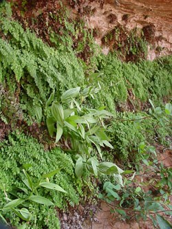 Lush green ferns hang from the side of a sandstone alcove.