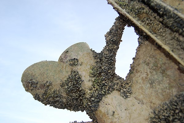 A boat propeller is lifted into the air. It is covered with mussels.