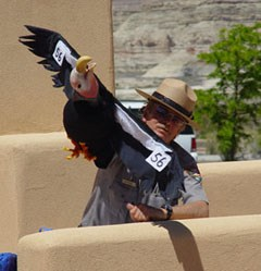 A park ranger stands behind a wall. He is displaying a condor puppet in flight. The puppet's head is upside-down.