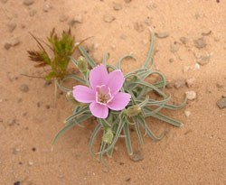 A delicate pink flower with thin leaves.