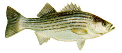 Drawing of a striped bass.