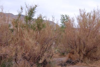 Tamarisk Leaf Beetle Glen Canyon National Recreation