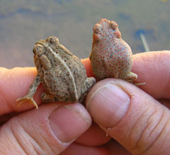 Two tiny toads with little bumps on thier backs. They are being held by a human. They are as big as the person's thumb.