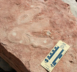 Three toed dinosaur track in the sandstone. Ruler for scale.