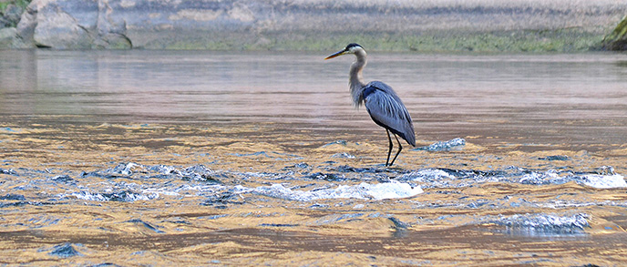 A long tall bird stands on a rock in the river.