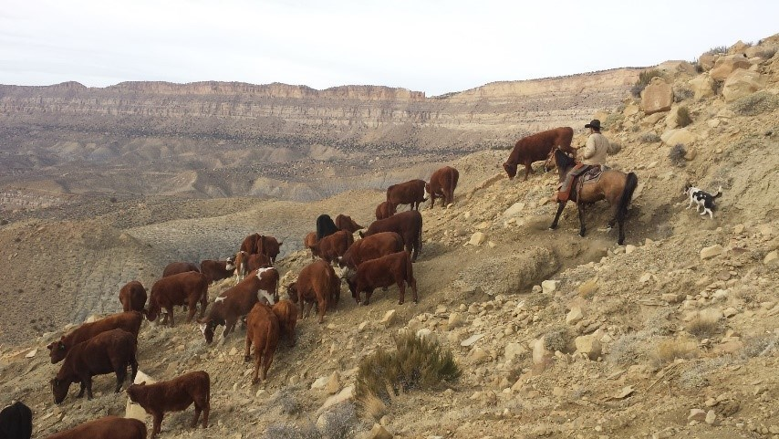Group of cows on a hillside with cowboy