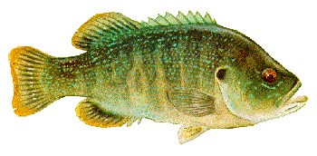 Drawing of green fish