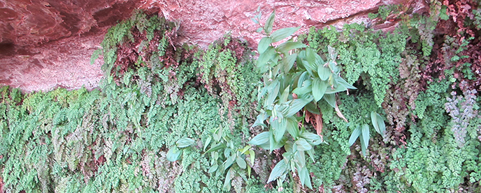 Lots of delicate green plants growing out the side of a sandstone wall.