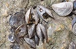A cluster of dead mussels is attached to a rock.