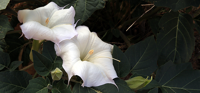 Two large white flowers with dark leaves.