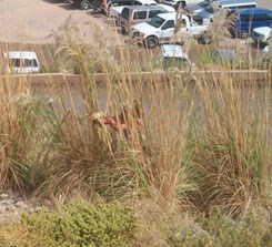 A person attempts to remove a bunch of ravengrass much taller thn they are. Cars in the background.