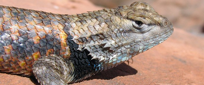 Close-up of head and torso of a colorful lizard on a rock.
