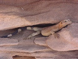 Dusty fat lizard with a striped tail looks out from a crack in two rocks.