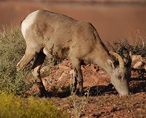 A bighorn sheep bends down to eat the sparse grass.