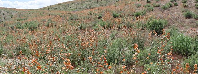 Many orange flowering plants across the landscape.